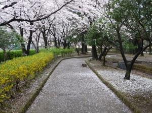 Sakuranoyuki1_2
