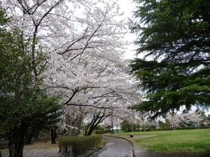 Sakuranoyuki2_2