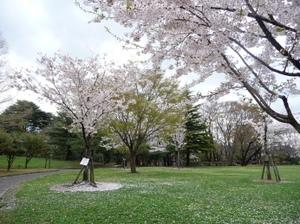 Sakuranoyuki3_2