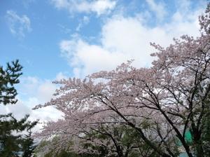 Sakuranoyuki4_2