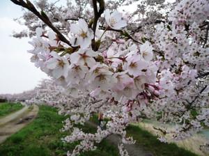 Sakura20120425