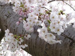 Sakura20120425a
