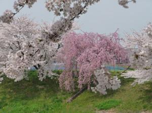Sakura20120425e