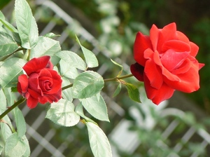 Crimsonglory