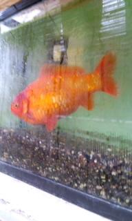 金魚 ひとりぼっち