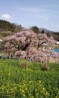 お花見・滝桜