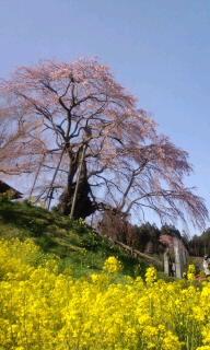 お花見・不動桜