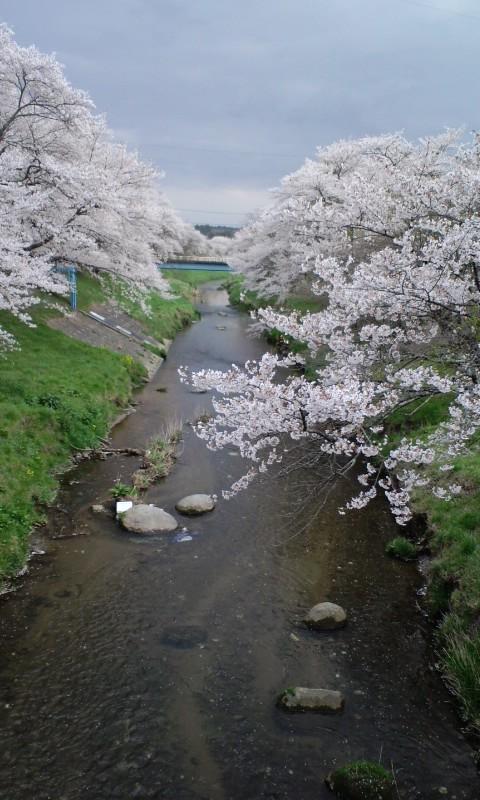 こまち桜回廊